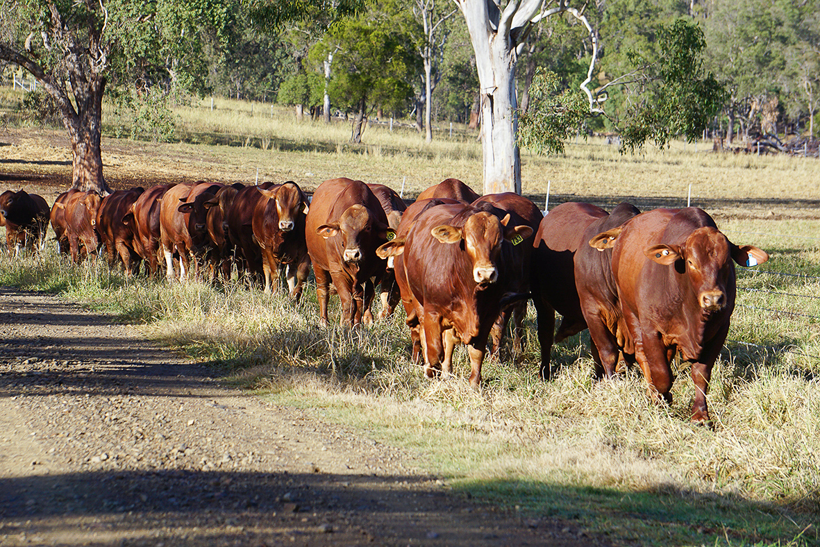 HIgh Country Droughtmaster Sale