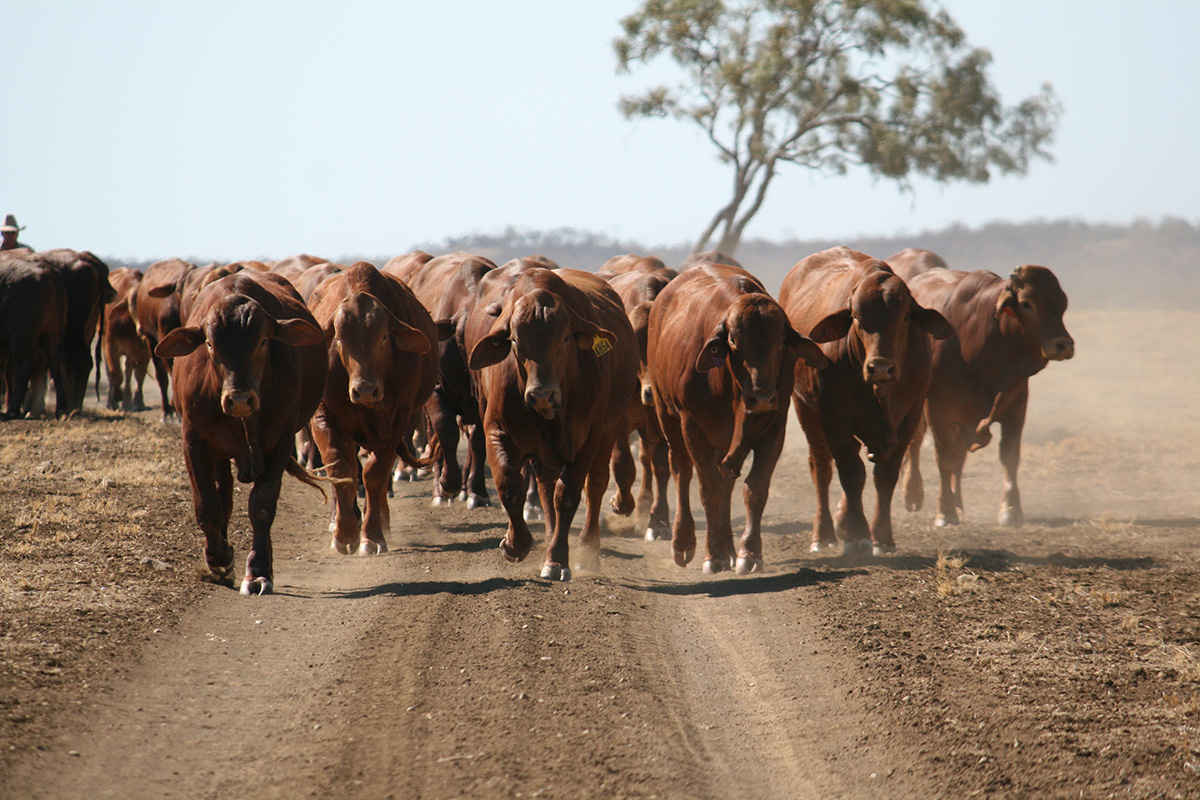 mustering beef cattle
